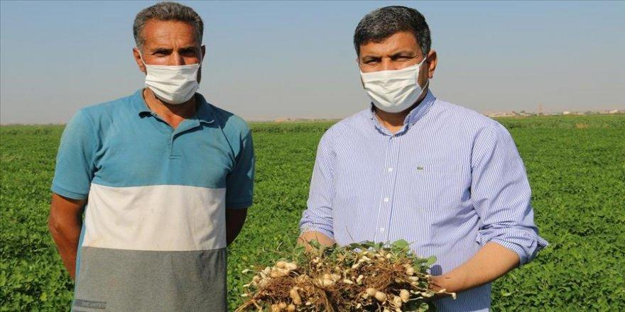 Harran Ovası'nda yer fıstığı üretimine başlandı