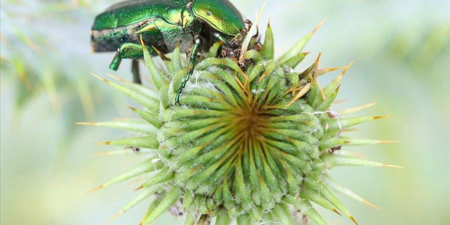 Iğdır'da altın böcekler doğada beslenirken görüntülendi