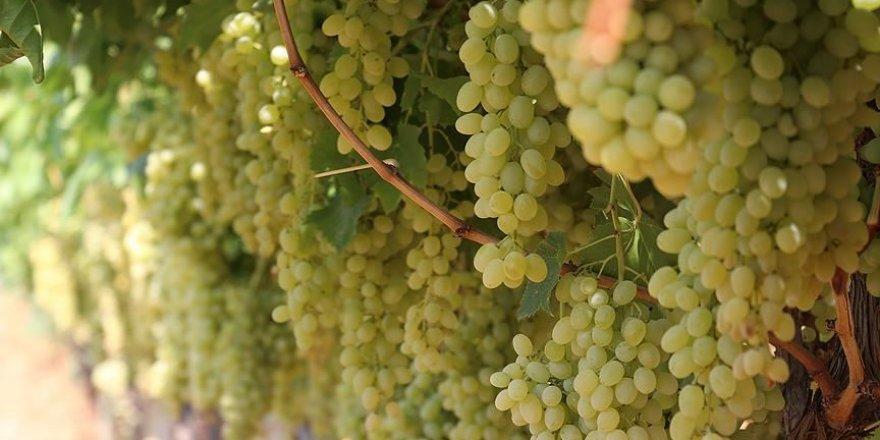 İslahiye Ovası'nda üzüm hasadı başladı