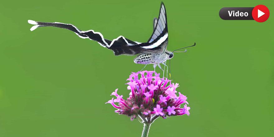 Cenab-ı Hakk'ın muhteşem sanatı: Dragontail kelebeği