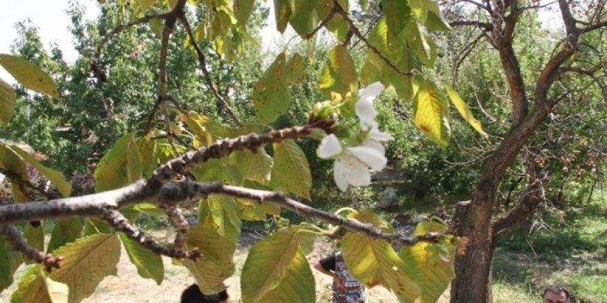 Kiraz ağacı eylül ayında çiçek açtı