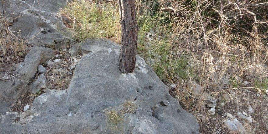 Kayada yaşayan ağaçlar korumaya alındı
