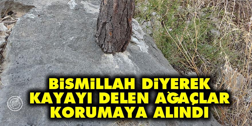 Bismillah diyerek kayayı delen ağaçlar korumaya alındı