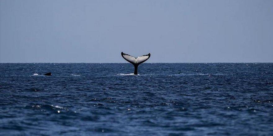 Avustralya'da sığ sularda mahsur kalan balina sayısı 470'e çıktı