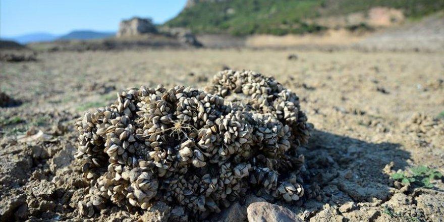 Barajın suyu azalınca havzasından 'midye tarlası' çıktı