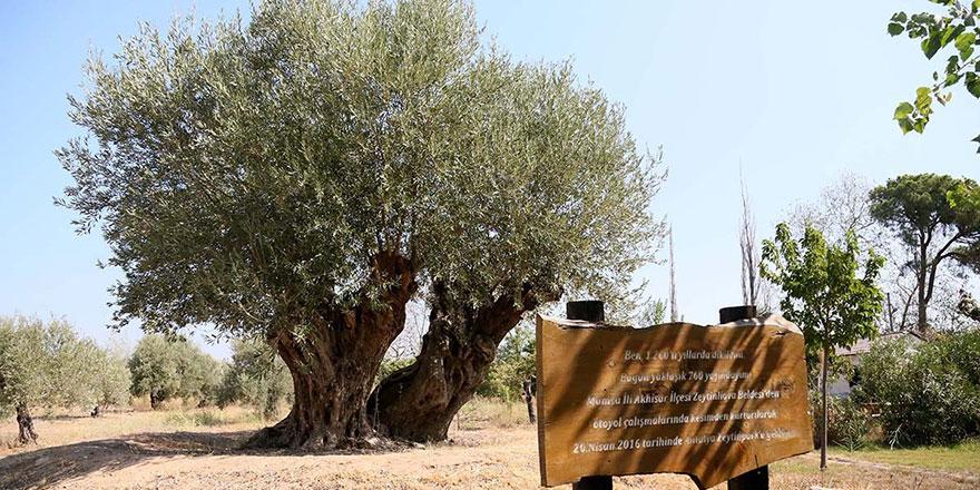 Ol der oluverir! 1204 yaşındaki zeytin ağacında meyve sevinci