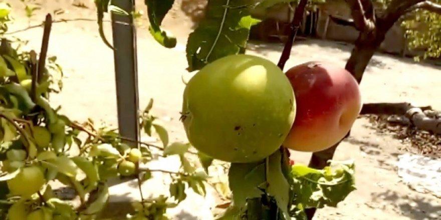 Çifçiye Allah'ın hikmeti dedirten meyve: Hem elma hem şeftali