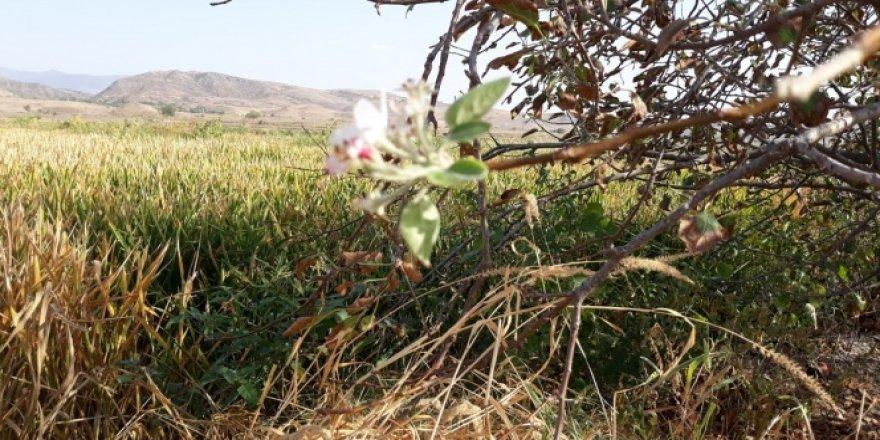 Elma ağacı eylül ayında çiçek açtı