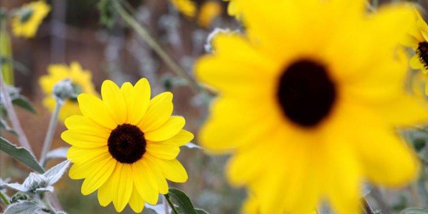 'Dünya Ayçiçeği Koleksiyonu Bahçesi' sonbaharı renklendirdi