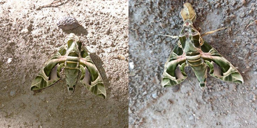 Nadir görülen Mekik Kelebeği Kuşadası'nda görüldü