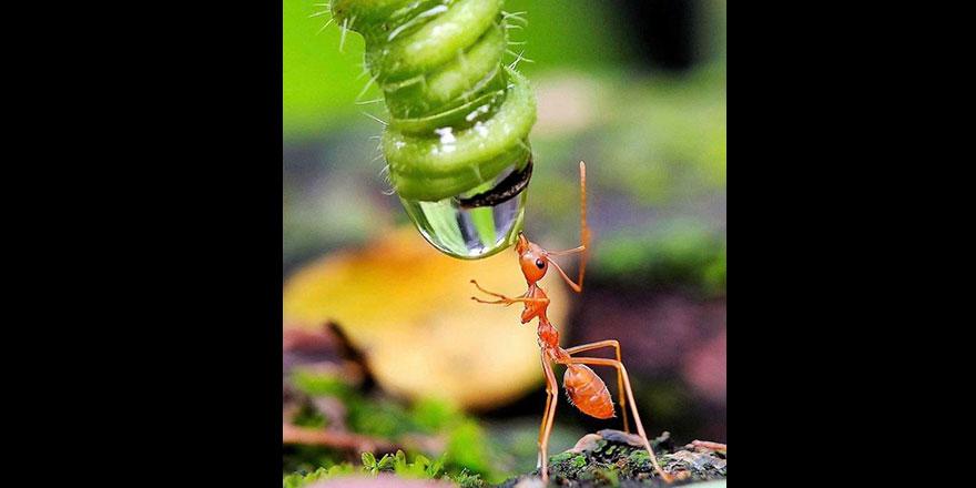 Su içen karınca
