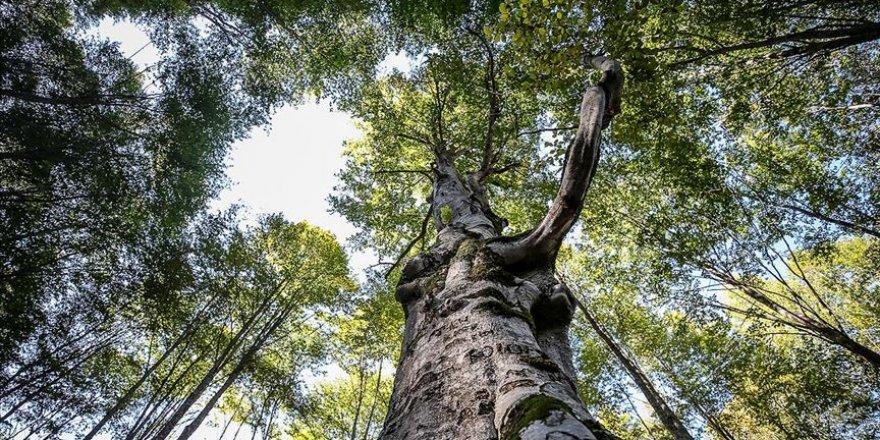 Kayın ormanı tırtıl istilasından biyolojik mücadeleyle kurtarıldı