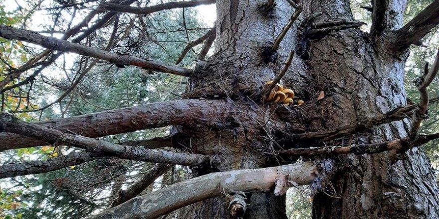 Aynı kökte birbirlerine sarılı çam ve köknar ağaçları görenleri şaşırtıyor