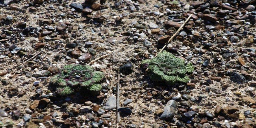 Salda Gölü'ne özgü 2 bitki koruma altına alındı