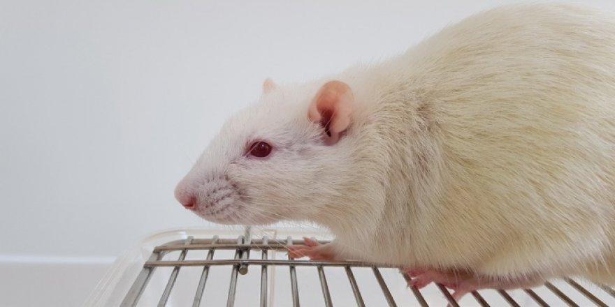 Laboratuvar deneylerinde neden fare kullanılır?