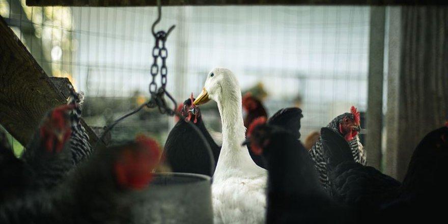Güney Kore'de 2 ayda yaklaşık 22 milyon kümes hayvanı itlaf edildi