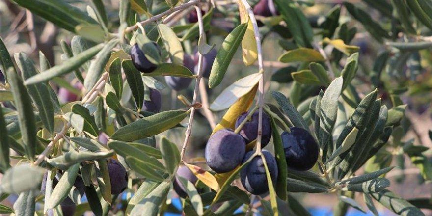 Hatay'da zeytin verimi azaldı, kalite arttı