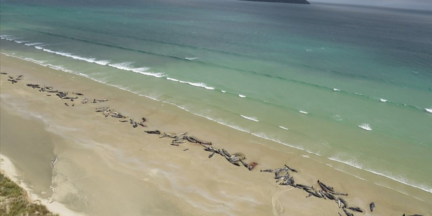 Yeni Zelanda'nın Chatnam Adaları'nda 120'den fazla balina ve yunus karaya vurdu