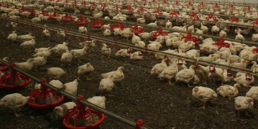 Güney Kore'de 390 binden fazla tavuk ve ördek itlaf edildi