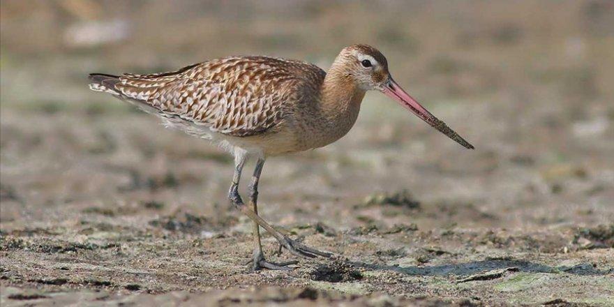 Hatay'da görüntülenen 2 yeni kuşla kayıt altına alınan tür sayısı 372'ye ulaştı