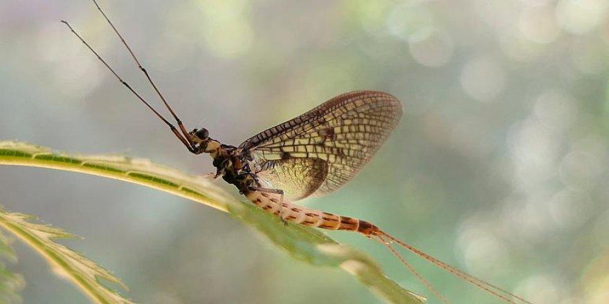 Ömürleri birkaç gün olan mayıs sinekleri 2021 Yılın Böceği seçildi