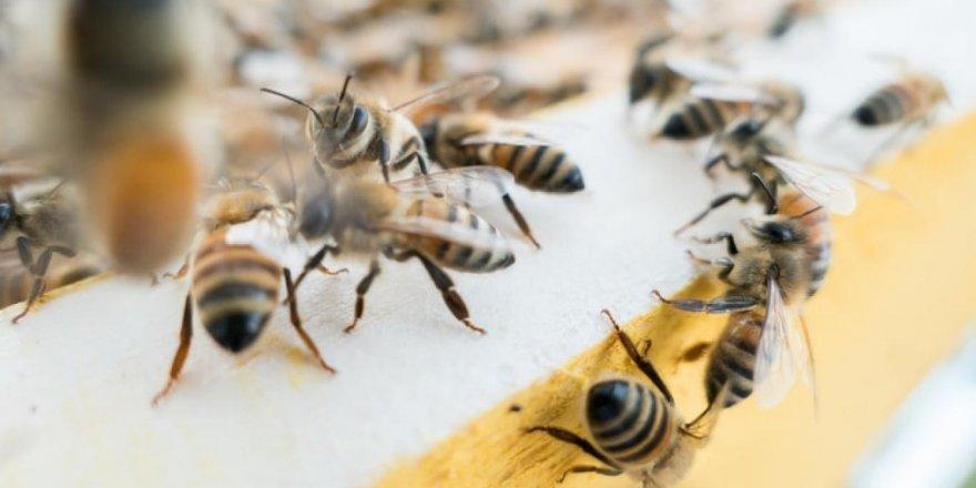 Koronavirüse iyi geldiğini öne sürüp, kendilerini bal arılarına ısırtıyorlar