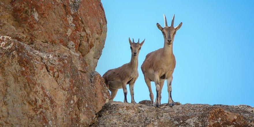 Kayaların usta tırmanıcıları: Yaban keçileri