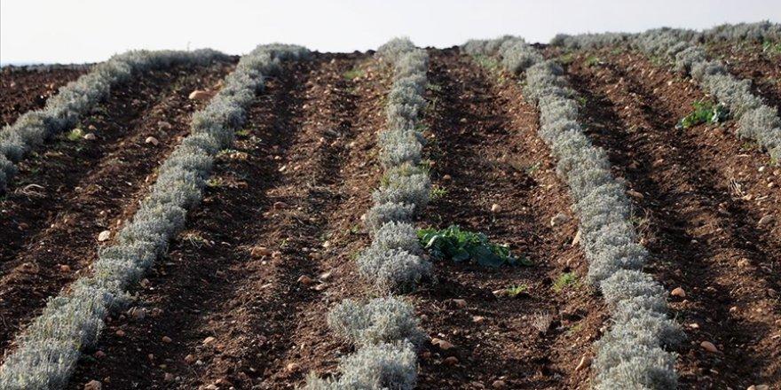 Lavanta, kuraklık nedeniyle üreticinin gözdesi oldu
