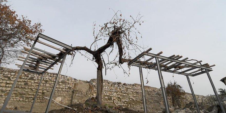 Kale restorasyonunda fark edilen tarihi asma ağacına özenli bakım