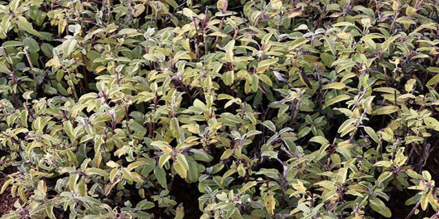 'Bağışıklık sistemini güçlendirmede ada çayı çok etkili'