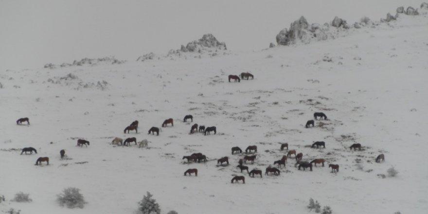 Afyon Sandıklı'da yılkı atları görüntülendi