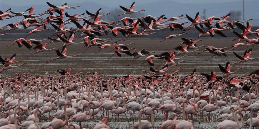 Gala Gölü'nün 'pembe tüylü misafirleri' izleyenleri hayran bırakıyor