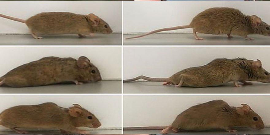 Almanya'da farelerde yapılan çalışma, felç tedavisinde umut oldu