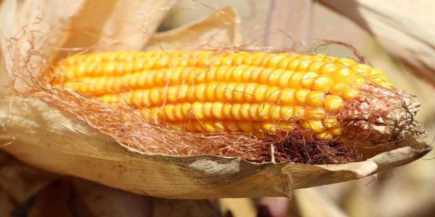 Bakanlıktan GDO'lu 2 soya ve bir mısır çeşidine onay