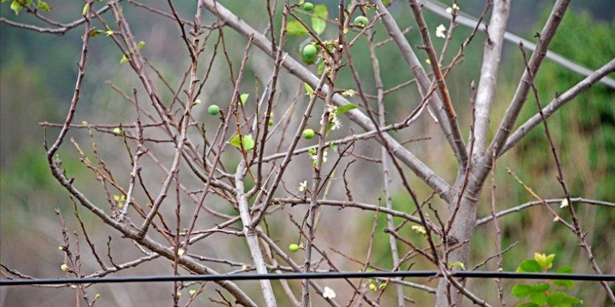 'Zemheri'de erik ağacında meyve görüldü