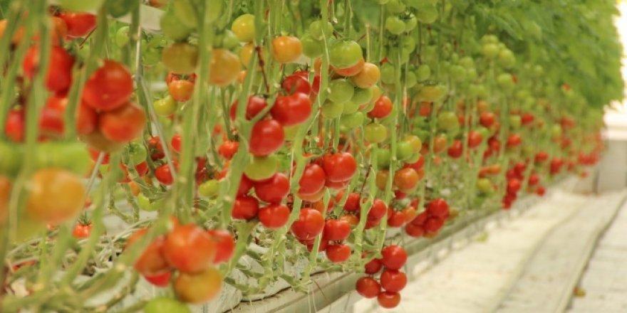 Pandemi döneminde topraksız tarıma ve domatese ilgi arttı