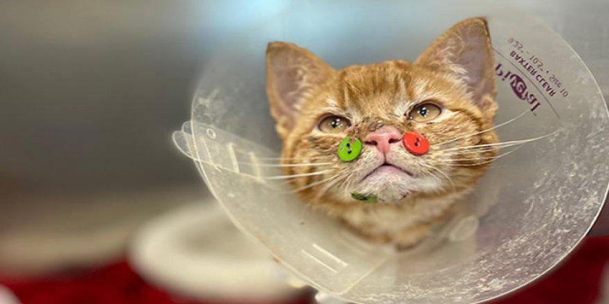 ABD'de yüzü parçalanmış kedi düğmelerle tedavi edildi