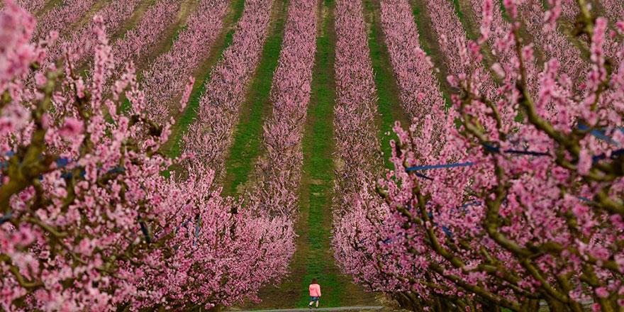 Çiçek açan şeftali ağaçları da baharın müjdecisi