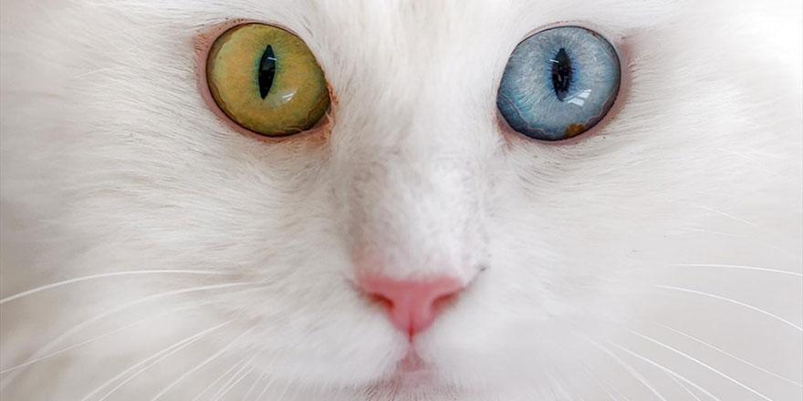 Van kedileri özel olarak yetiştiriliyor