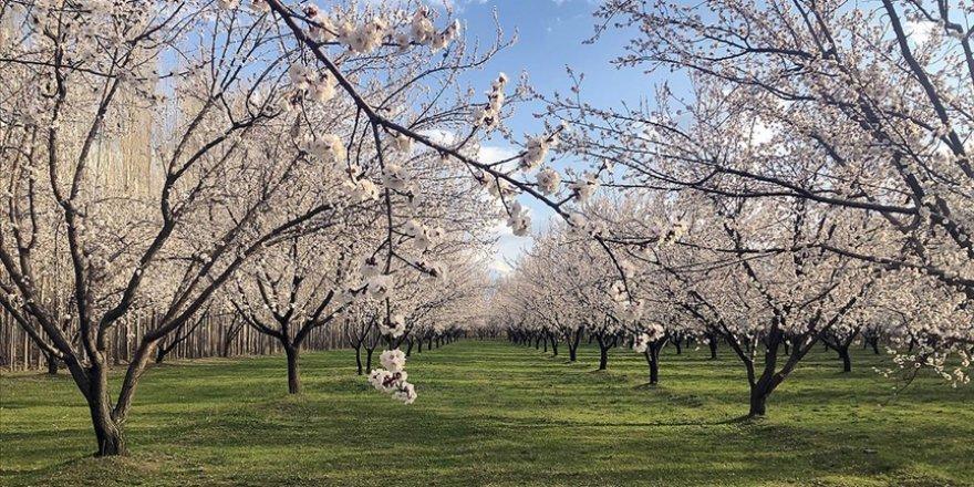 Baharın gelmesiyle gelinliğini giyen Iğdır'ın kayısı bahçeleri görsel şölen sunuyor