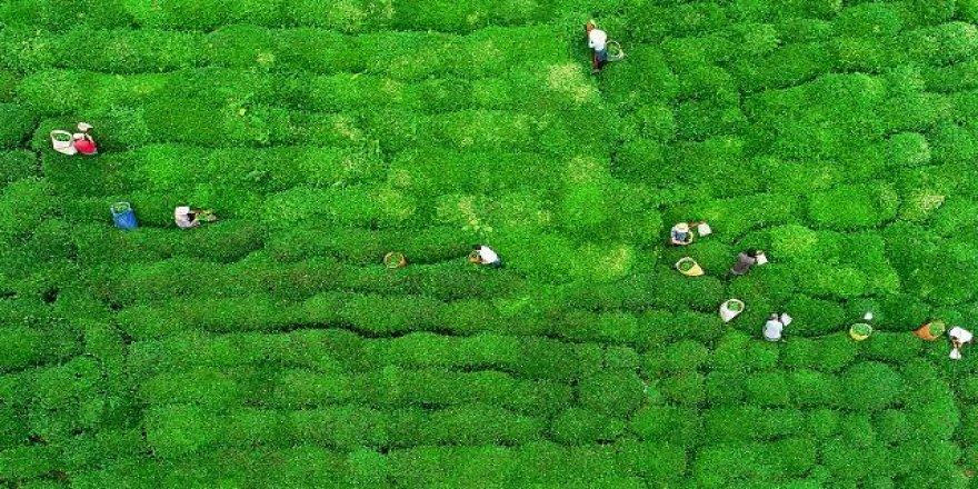 Rize'nin çay gen havuzu çalışmaları sonbaharda tamamlanacak