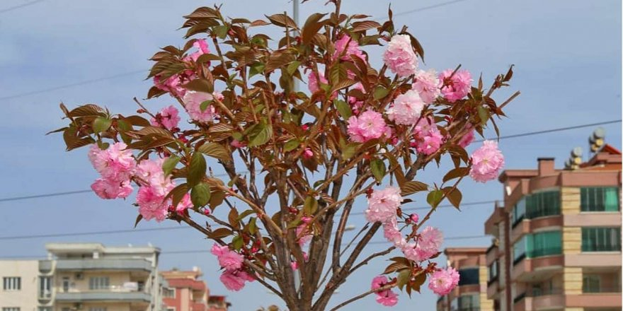 Baharda açan çiçekler Adıyaman'a renk kattı