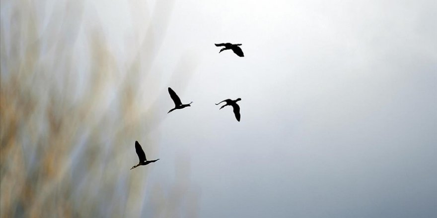 Göçmen kuşların Ardahan'a dönüşü güzel görüntülere sahne oldu