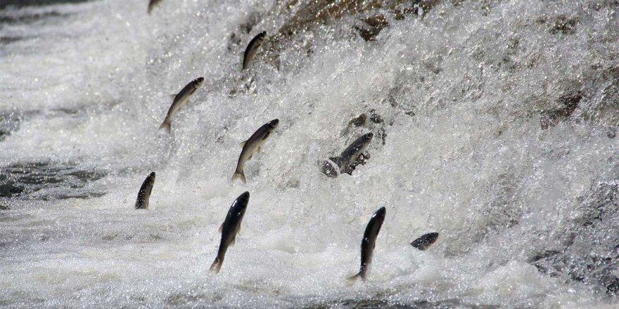 İnci kefalinin av yasağı dönemi başladı