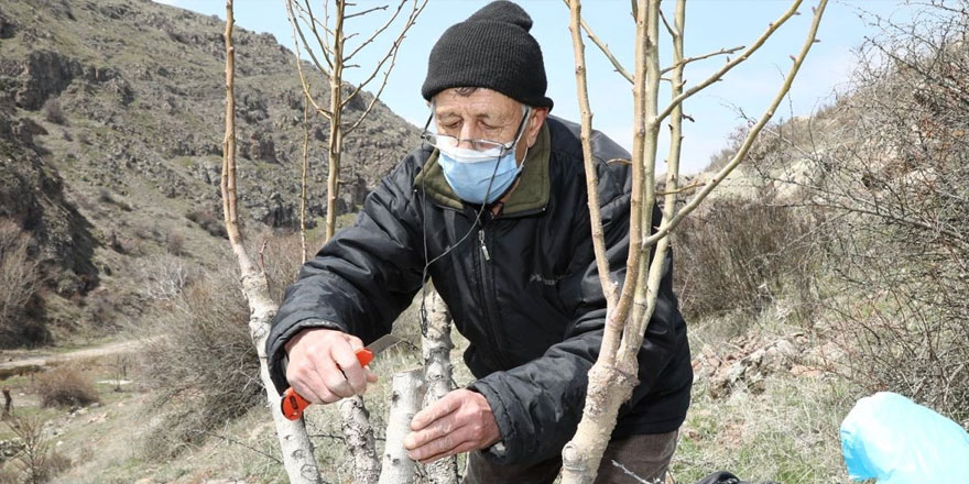 69 yaşındaki emekli öğretmen yabani ağaçları gönüllü olarak aşılıyor