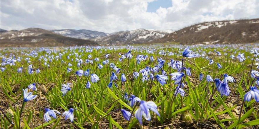 Tunceli'de baharın gelişiyle açan mavi kardelenler