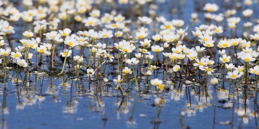 Kızılırmak Deltası'nda suda açan çiçekler tanıtım için kullanılıyor