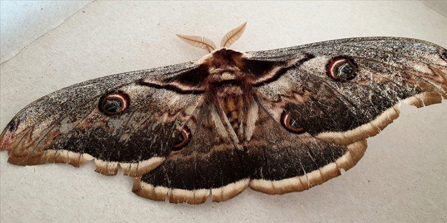 Osmaniye'de kanat açıklığı 16 santimetre olan nadide bir tavus kelebeği bulundu