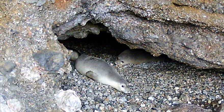 Gökova Körfezi'ndeki bir mağarada 5 Akdeniz foku görüldü