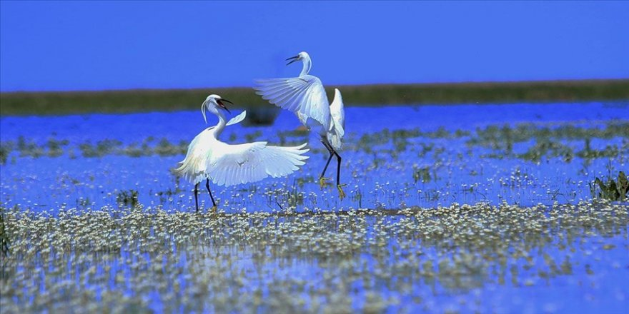 İlkbahar renklerine bürünen Kızılırmak Deltası göçmen kuşlarla şenlendi